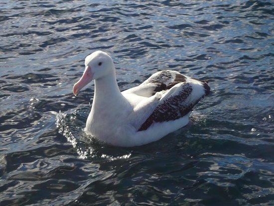 Albatross Encounter: Well fed.