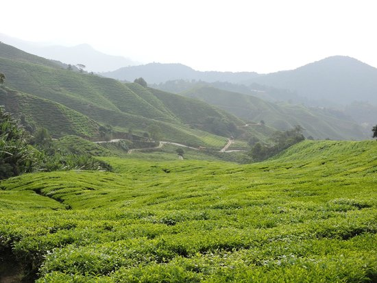 how to get to boh tea plantation