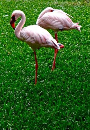 Hilton Hawaiian Village Waikiki Beach Resort: Flamingoes in the entertainment/dining area