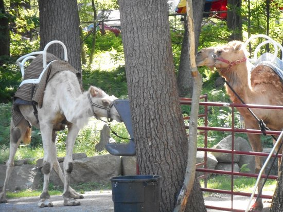 Southwick's Zoo: Camels