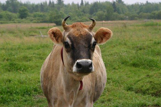 Neston Park Farm Shop: One of our Jersey Cows