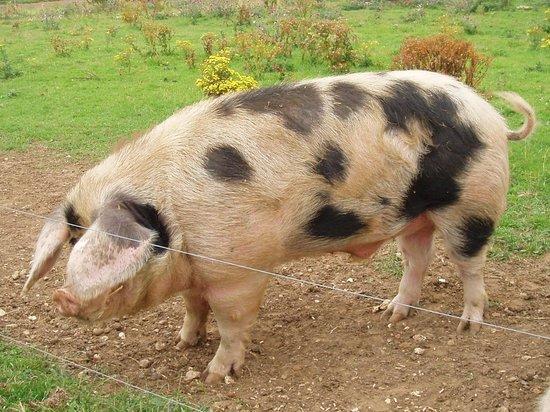 Neston Park Farm Shop: One of our Pigs