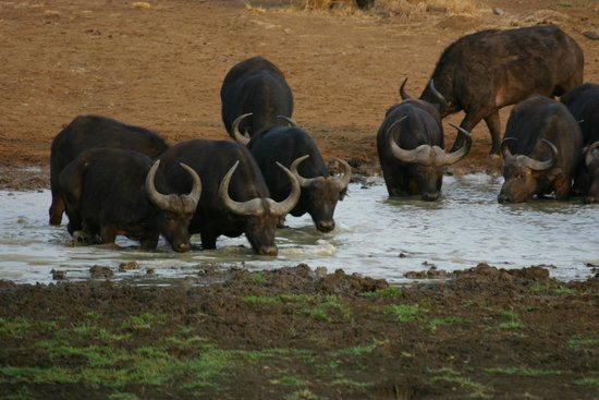Golden Leopard Resorts - Bakgatla Resort: Herd of Buffalo at the water hole