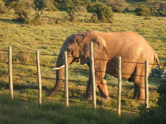 Addo Rest Camp: elephant saying goodbye our last night