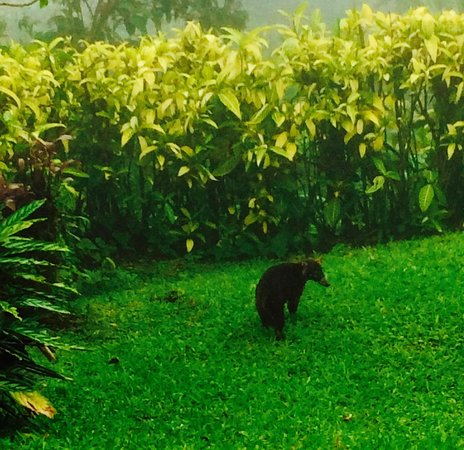 Villa Blanca Cloud Forest Hotel and Nature Reserve : Coatimundi Visit!