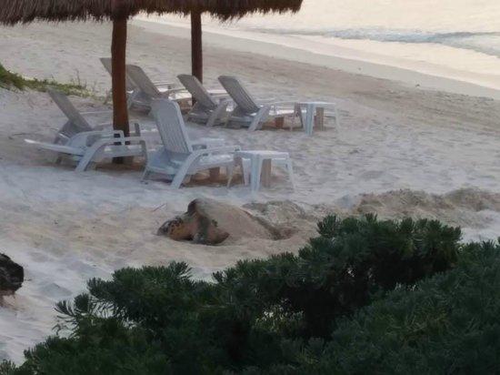Las Ranitas Eco-boutique Hotel : Turtle laying eggs