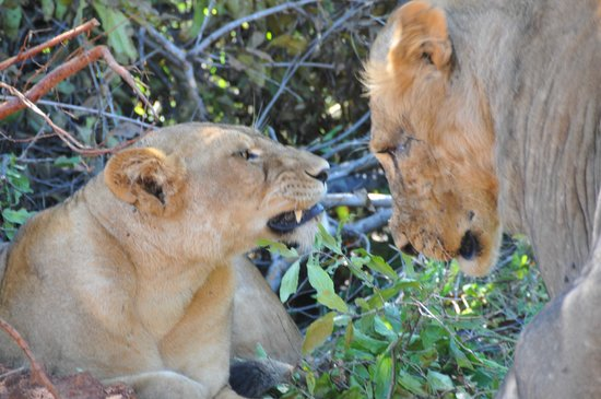 Ruaha National Park: Even lions get bitten by Tetsies