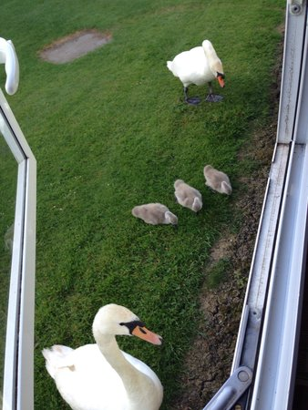 Burnham on Sea Holiday Park - Haven: Swans outside our caravan