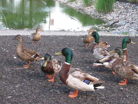 Fulton Steamboat Inn: Duck fun