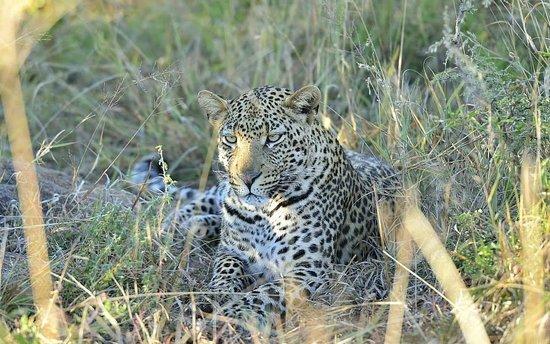 Sanctuary Makanyane Safari Lodge : Leopard