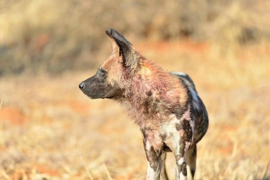 Thakadu River Camp: Wild dog