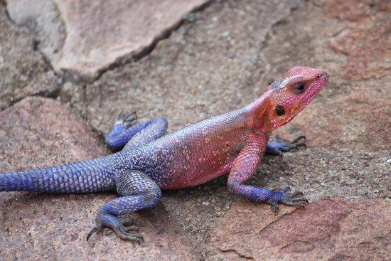 Mara Serena Safari Lodge: A friendly, colourful visitor