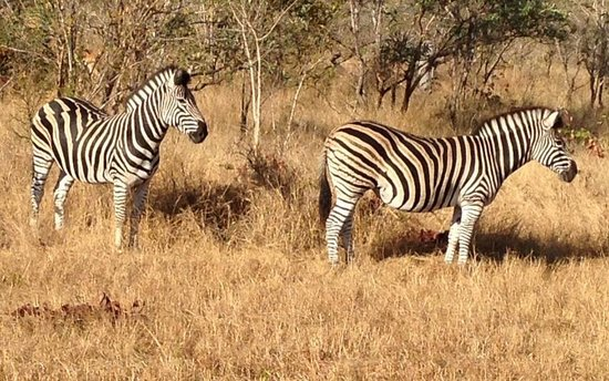 Londolozi Tree Camp: Zebras (my favorite!)