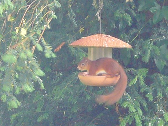Cheviot Holiday Cottages: Red squirrel on the bird feeder