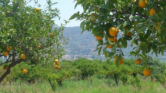 Agriturismo Fondo Cipollate: The sea of oranges