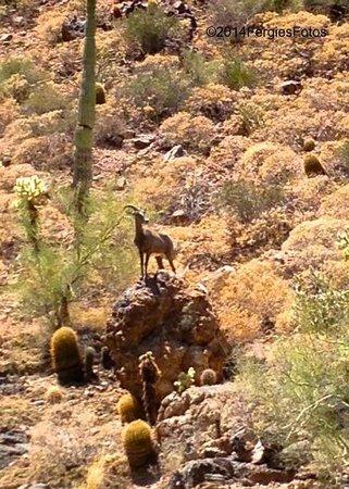 Canyon Lake: Big horn sheep :)