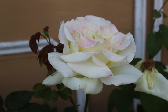 The Srikhand (HPTDC): flowers bloom in profusion especially white roses