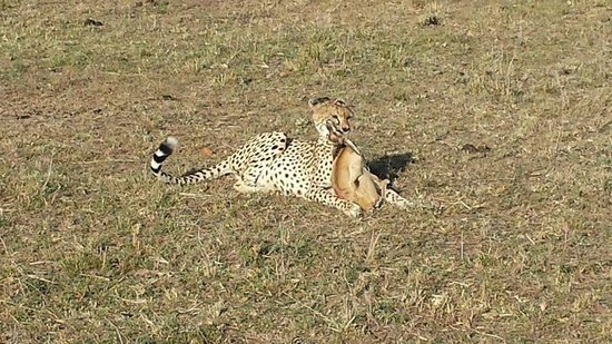 Mara Explorer Camp: Cheetah having his meal