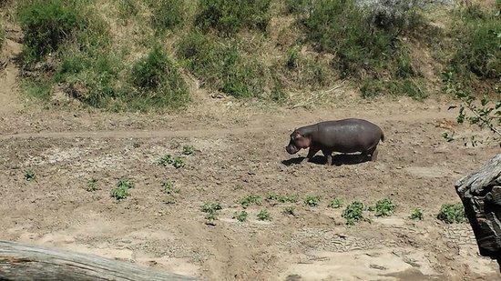 Mara Explorer Camp : Hippo passing by