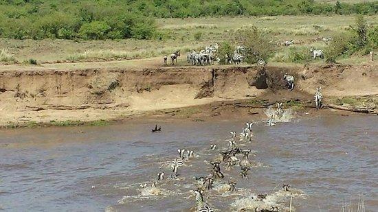 Mara Explorer Camp : Wildebeast's and Zebra's crossing Mara River
