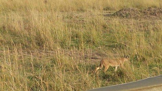 Mara Explorer Camp: Caracal cat