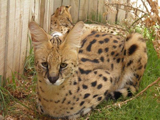 Cango Wildlife Ranch : the cats next door.