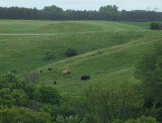 Frontier Village : we saw live buffalo just chilling out, see that light colored one, cool!