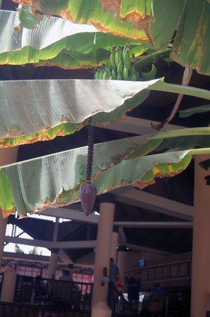 ClubHotel Riu Funana: Bannas Everywhere!!