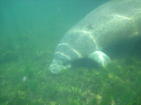 Manatees In Paradise : Crystal River BFF