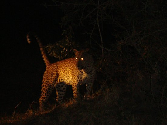 Cheetah Plains : leopard´s eyes