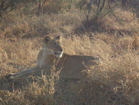Cheetah Plains : the lioness