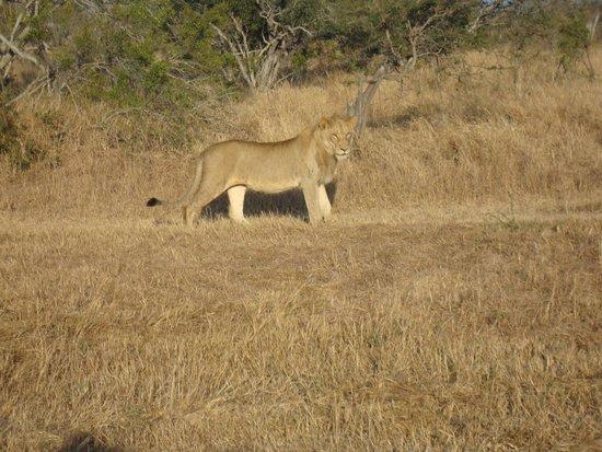 Cheetah Plains : watching the tabbies