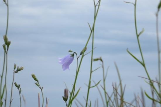 The Holy Island of Lindisfarne: Wild flower at top of castle