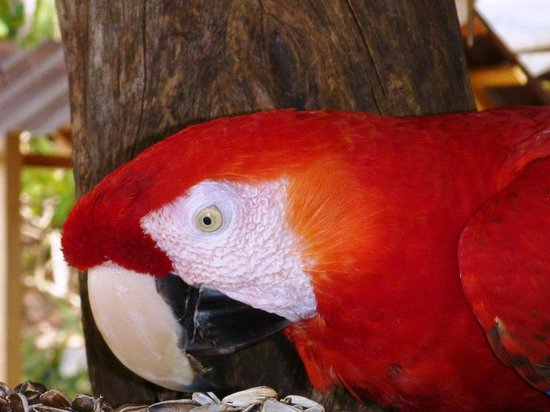 Bahia Rica Adventures: Isla San Lucas - Red Macaw