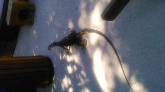 Tradewinds Apartment Hotel: dont panic its only a big lizard