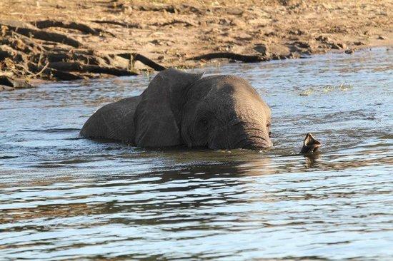 Cresta Mowana Safari Resort and Spa: Elefant im Chobe der zu den Grasinseln schwimmt