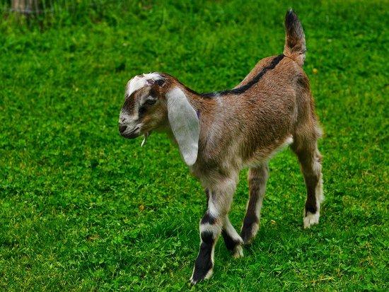 Carl Sandburg Home National Historic Site: Baby Nubian Goat