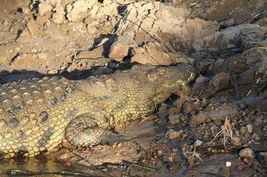 Cresta Mowana Safari Resort and Spa: Krokodil am Chobe vom Boot der Lodge aus
