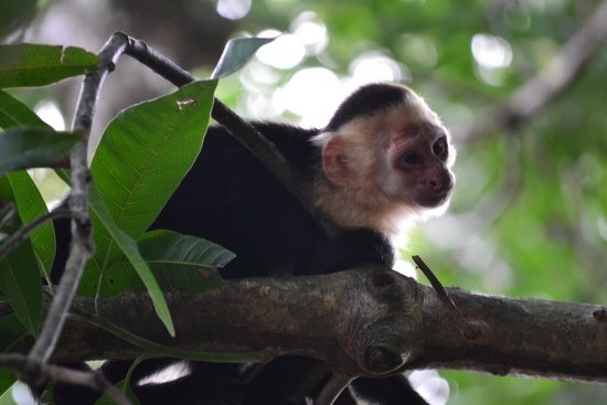 Hotel Costa Verde: One of the many white faced monkeys on the property