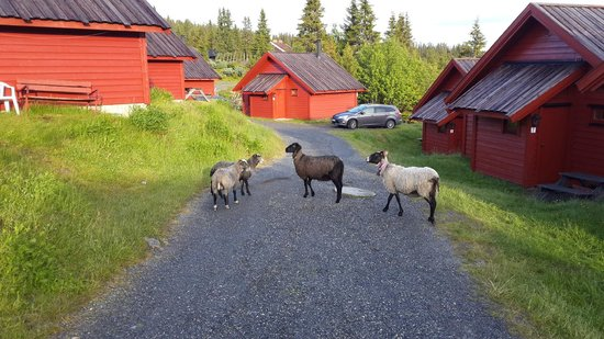 Lillehammer Fjellstue: Sheep roaming by cabin