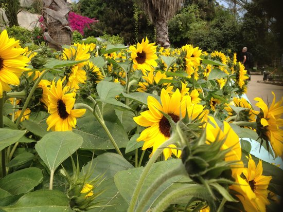 Eden Project: Sunflowers in the mediterranean biome