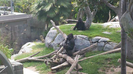 San Diego Zoo : Feeding the gorillas.