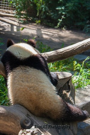 San Diego Zoo: panda baby facing the fan and water mister