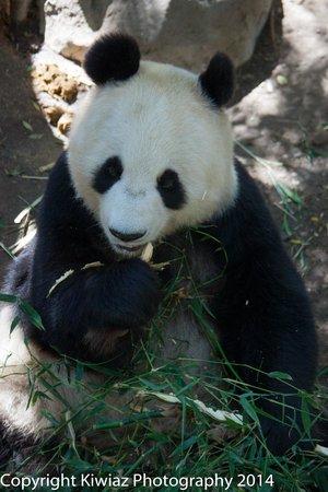 San Diego Zoo : bamboo anyone