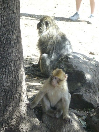 Cèdre Gouraud: Barbary Macaque in the Cedre Gouraud