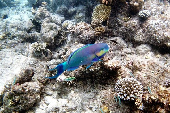 Veligandu Island Resort & Spa : Just another Parrot Fish, big one