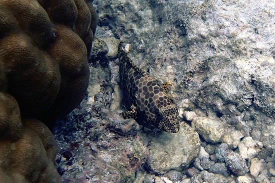Veligandu Island Resort & Spa : A shy one, always hiding under the coral