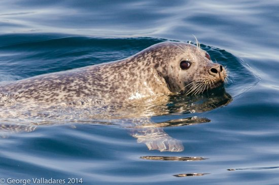 Cap'n Fish's Whale Watch: Harbor Seal