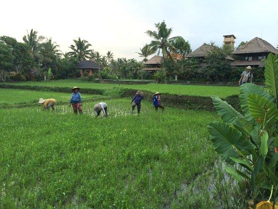 Agung Raka Resort & Villas : Une rizière au milieu du complexe hôtelier