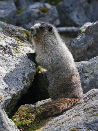 Lake O'Hara Lodge: Hoary marmot